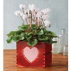 harryanddavid deals on White Cyclamen
