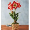 harryanddavid deals on Minerva Amaryllis Single