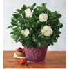 harryanddavid deals on Harry and David 6-inch Everblooming Gardenia
